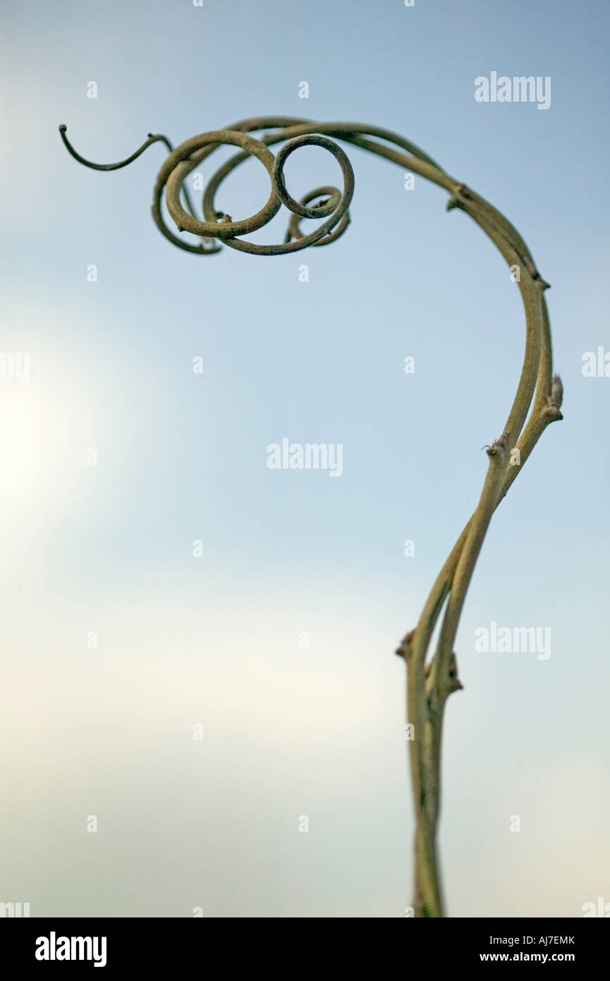 simple curly branch with sky in background - Stock Image