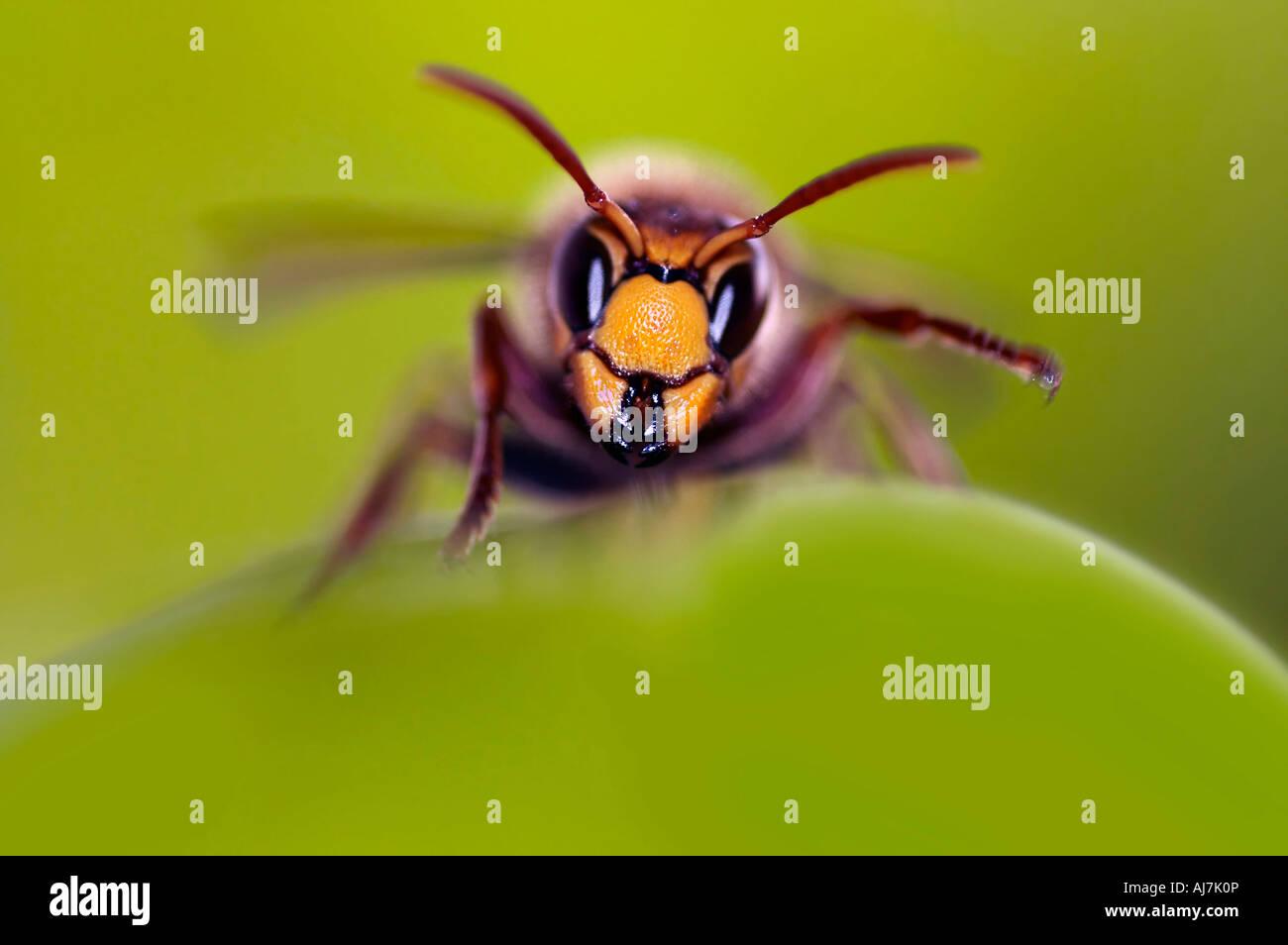 giant hornet - mandibles - Stock Image