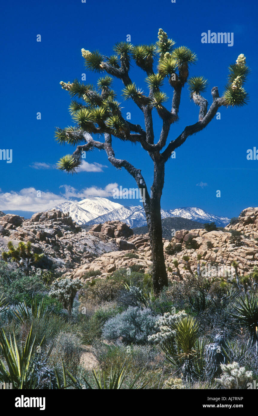 Joshua Tree with snow capped San Gorgonio Mountain in distance Joshua Tree National Park Mojave Desert California - Stock Image