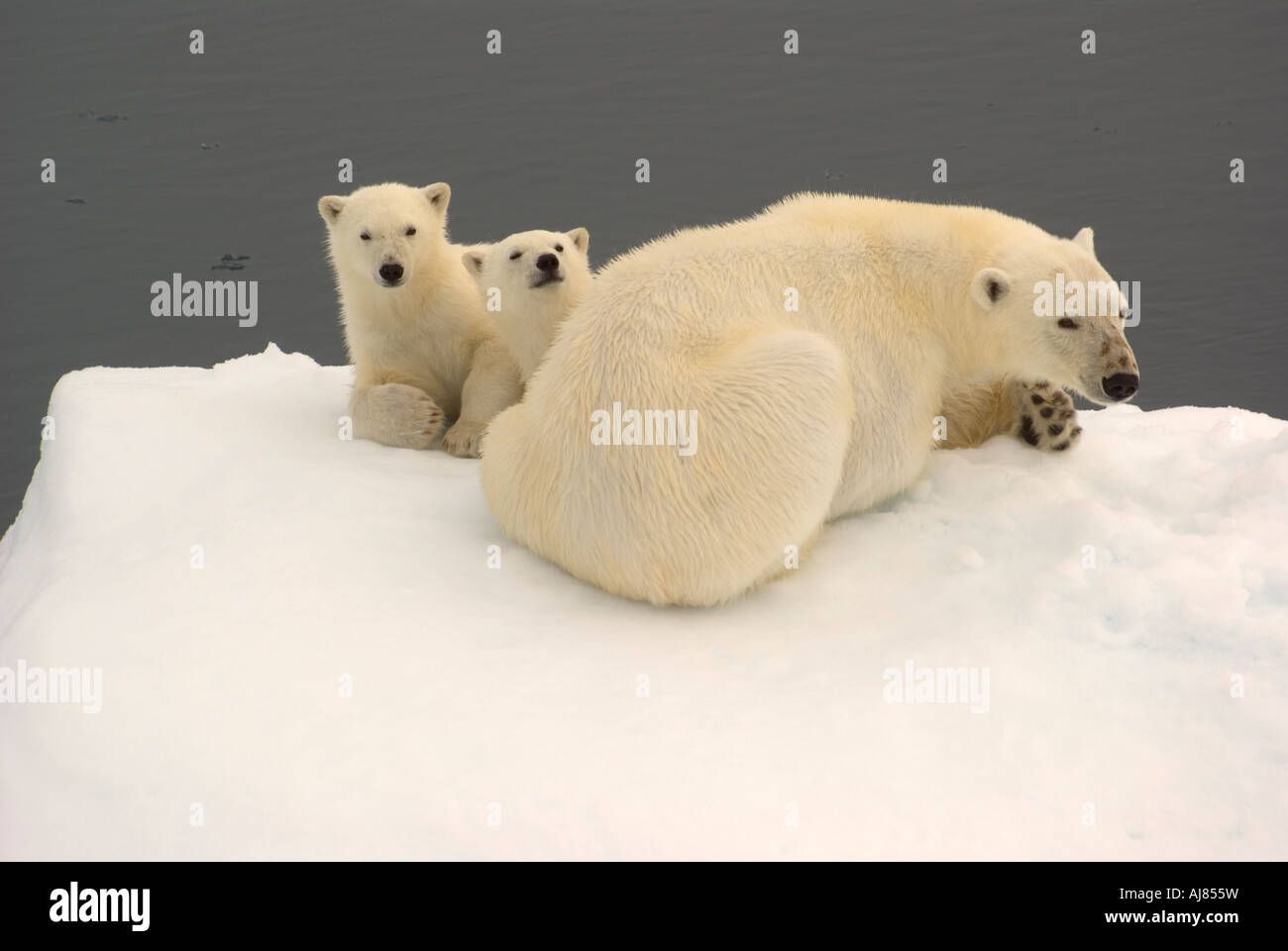Mother And Twin 6month Old Cubs Hinlopen Strait Svalbard