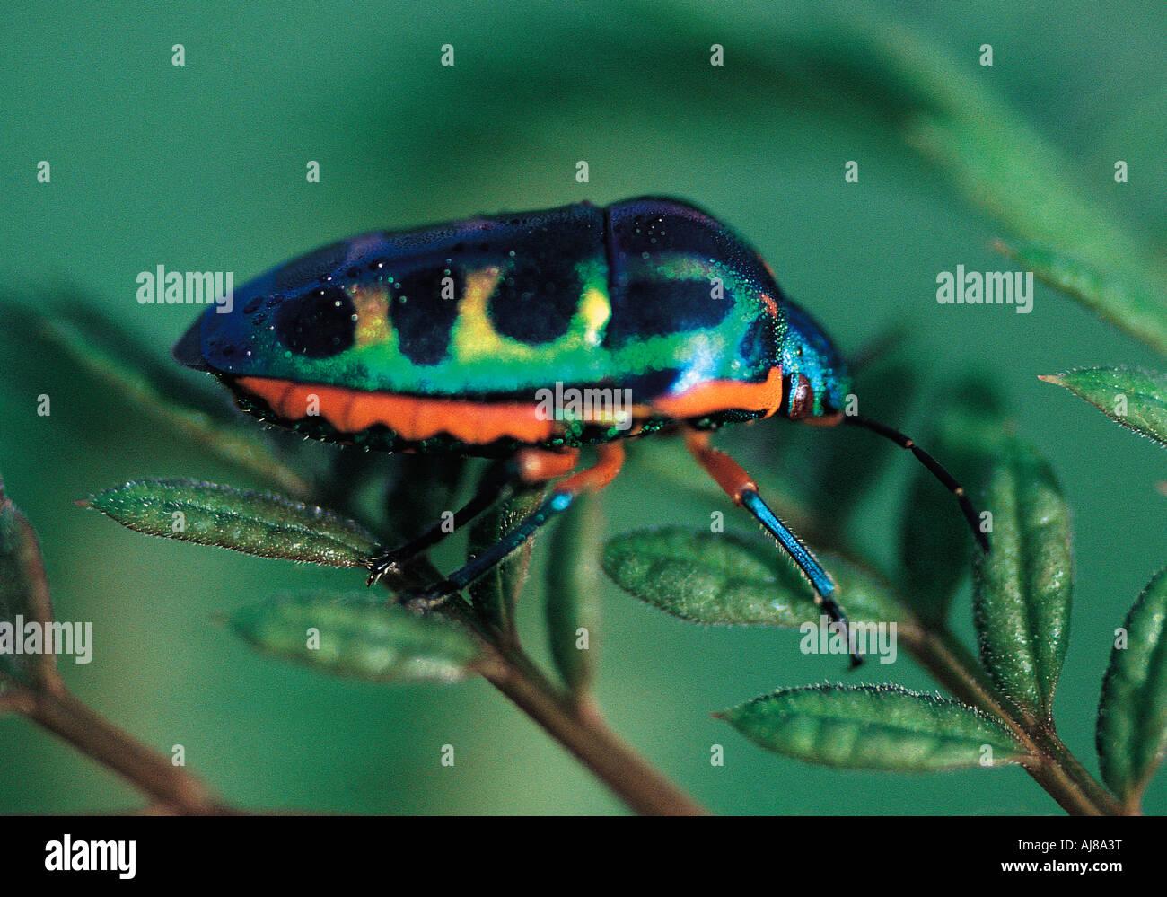 Brightly coloured Jewel Beetle Masvingo Zimbabwe - Stock Image