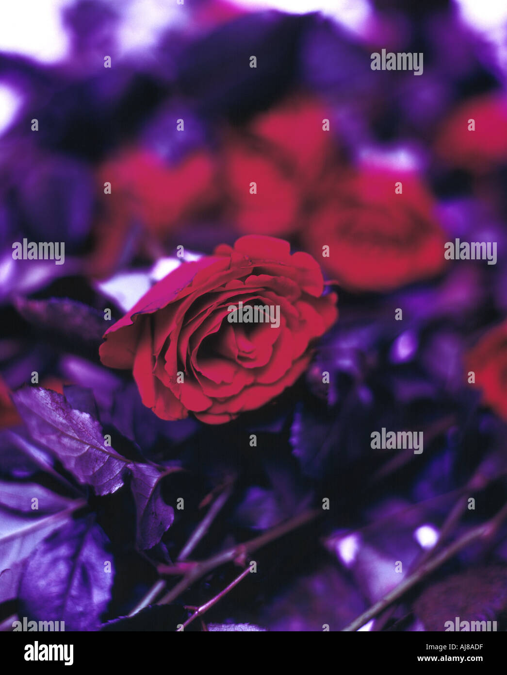 Purple Red Roses Stock Photos & Purple Red Roses Stock Images - Alamy
