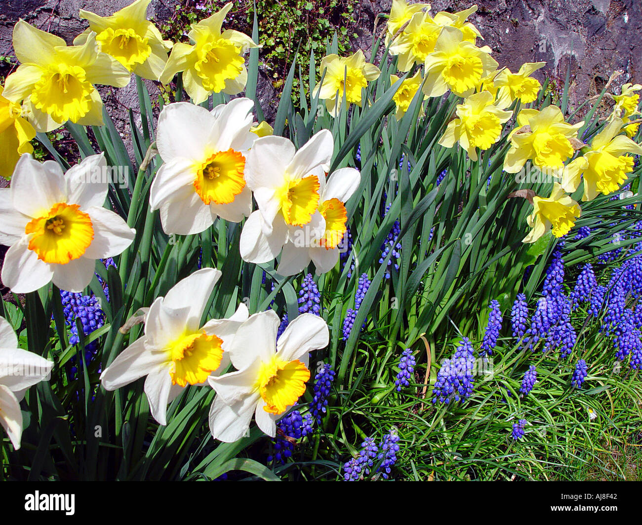 Daffodils And Spring Flowers Easter Scene Stock Photo 1216321 Alamy