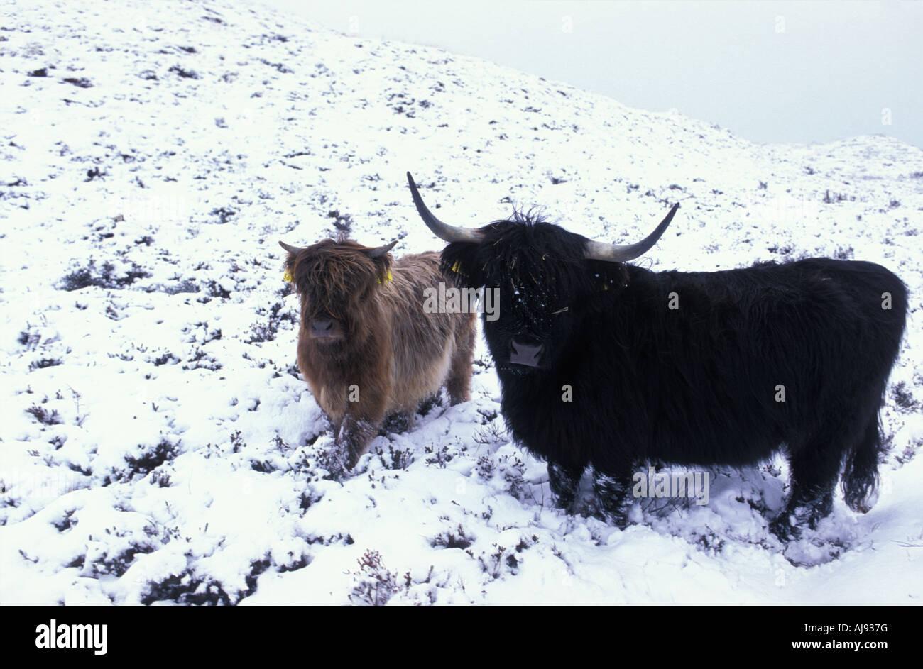 Texel wintertime Scottish highlander cattle grazing in the dunes - Stock Image