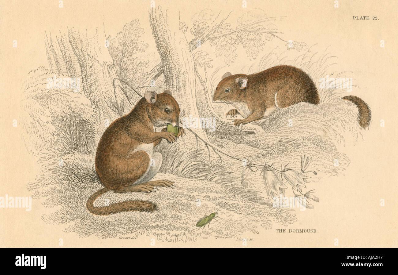 Common dormouse (Muscardinus arvellanarius), hibernating rodent, 1828. Artist: Unknown - Stock Image