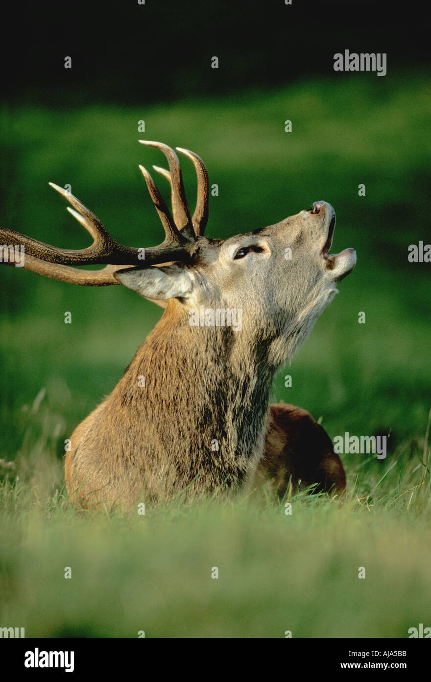 Red Deer Stag bellowing - Stock Image