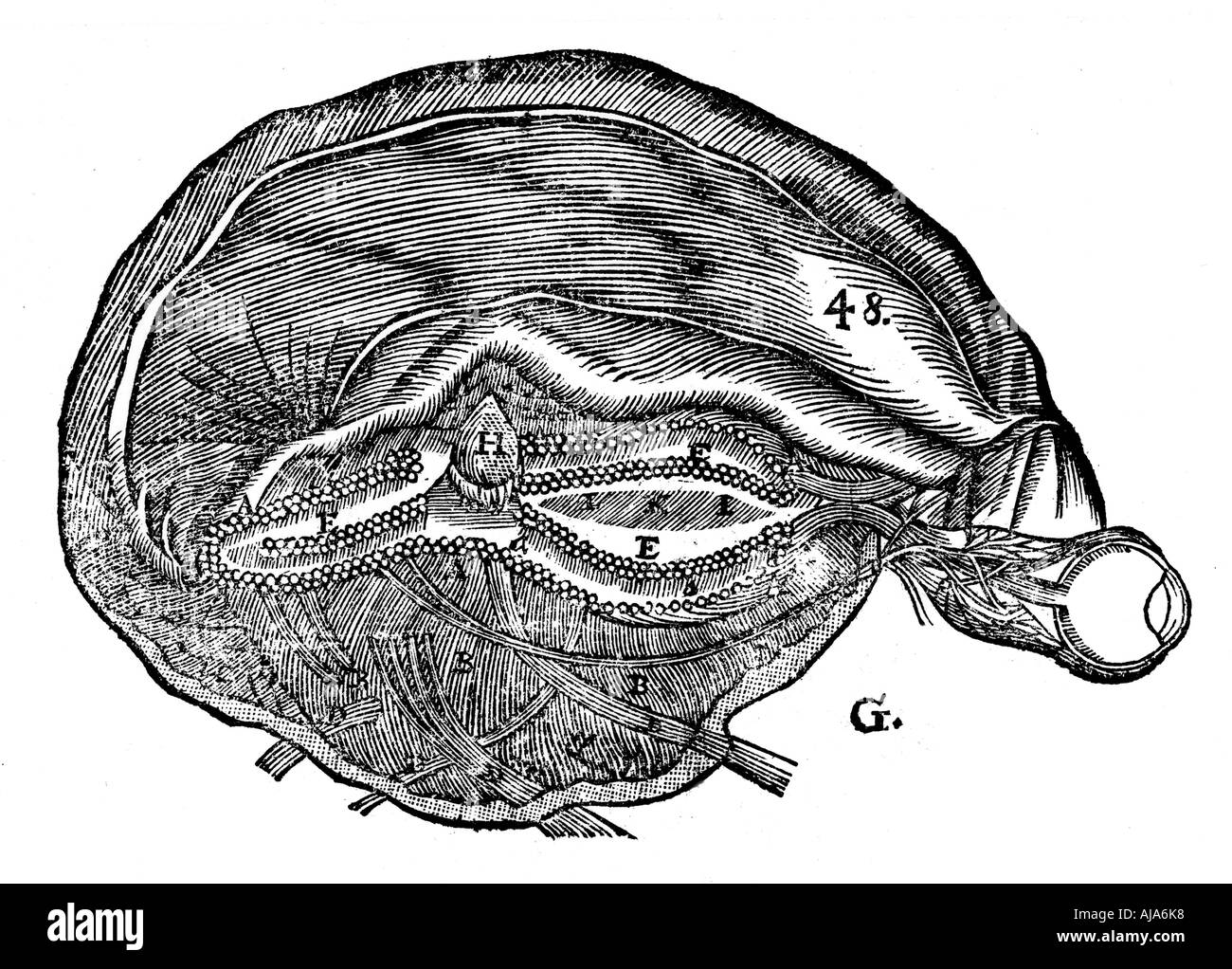 Rene Descartes diagram of the human brain and eye 1692 Stock Photo ...