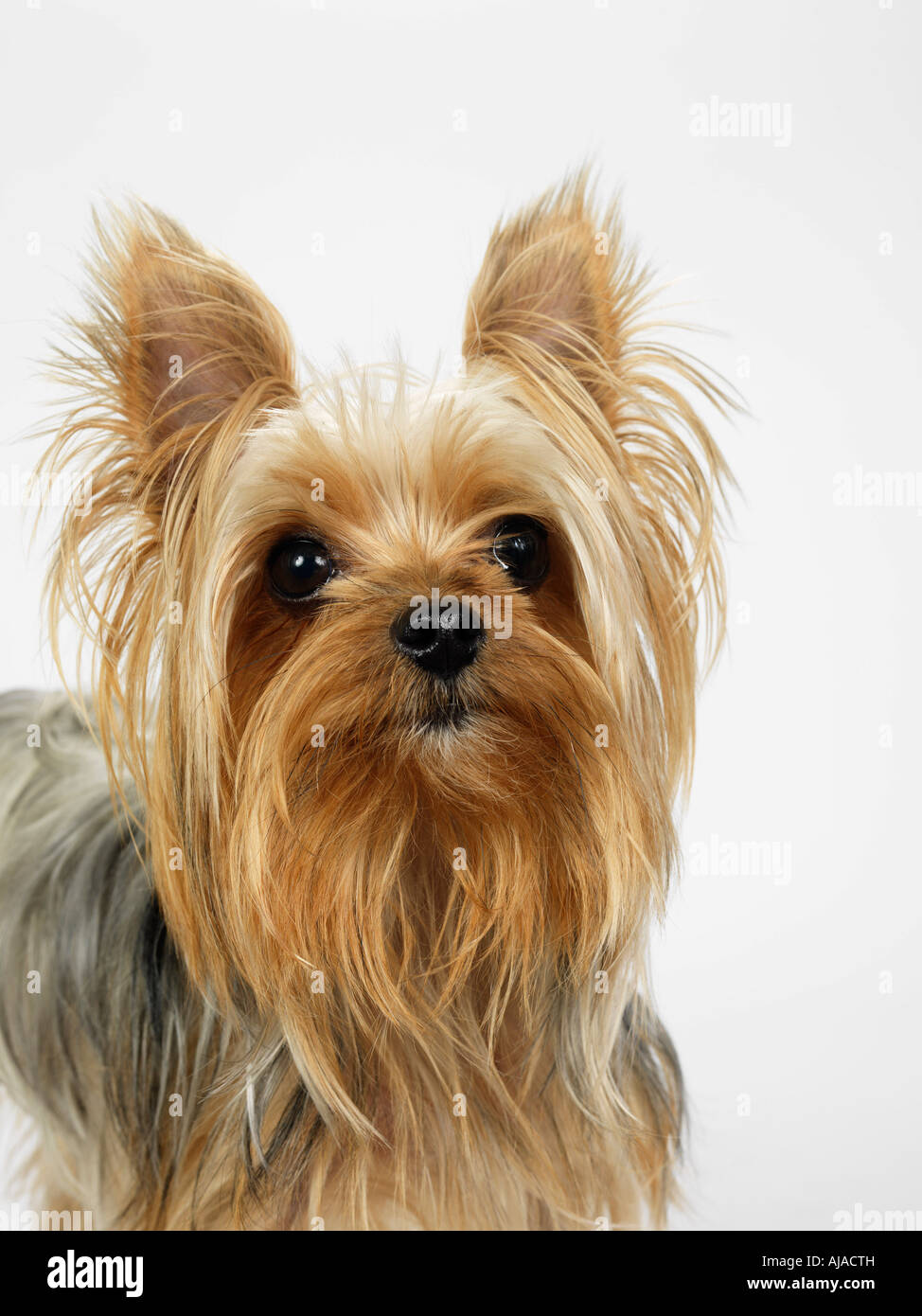 Yorkie Face Hair High Resolution Stock Photography And Images Alamy