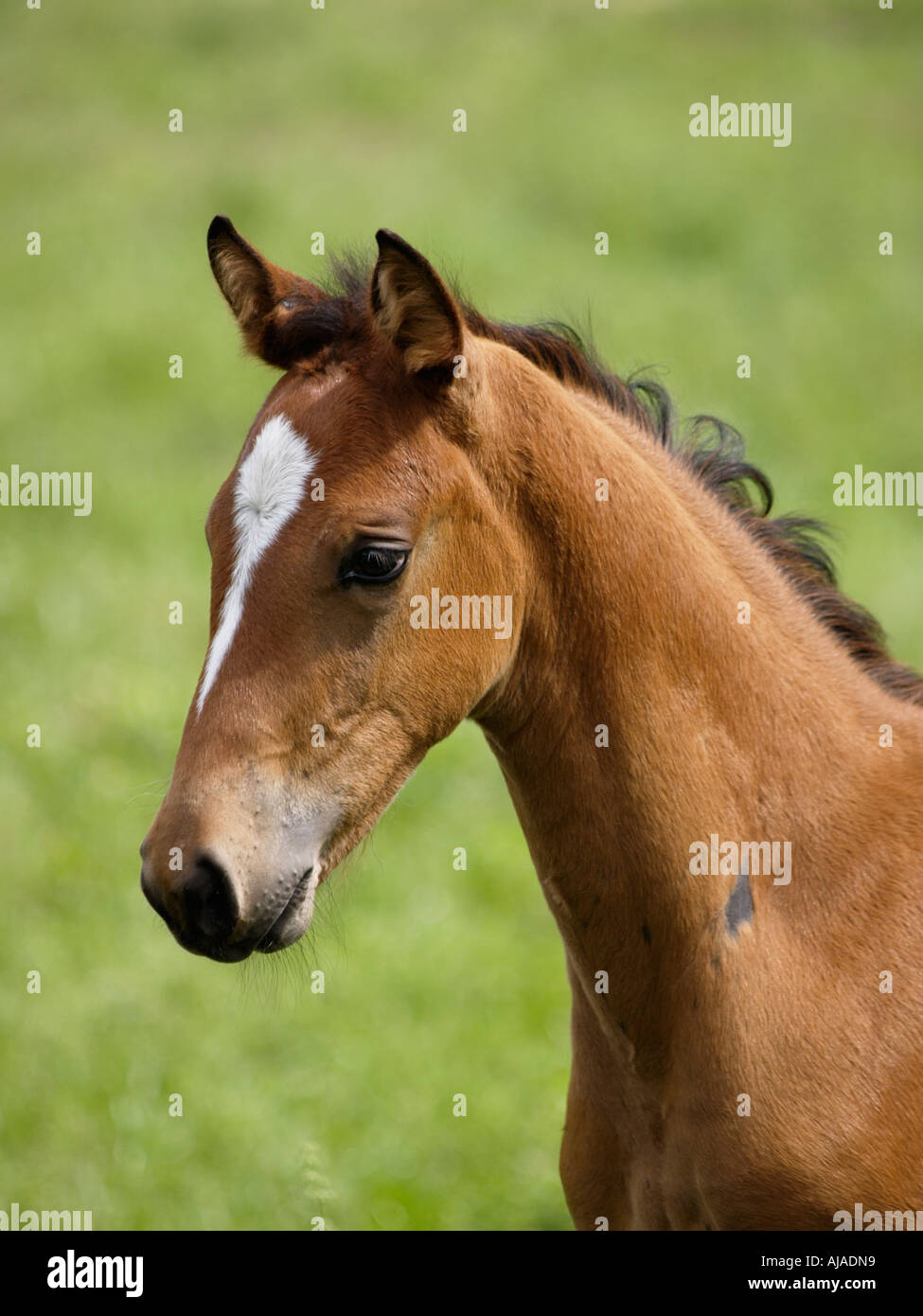 Portrait of a young thoroughbred foal named Bambi Ruurlo Gelderland the Netherlands - Stock Image
