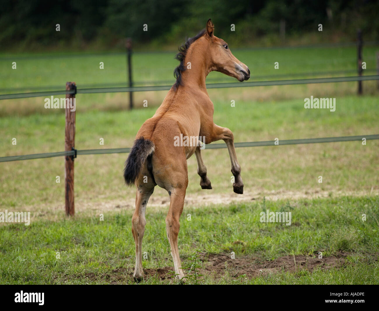 Playful little thoroughbred foal named Bambi Ruurlo Gelderland the Netherlands - Stock Image