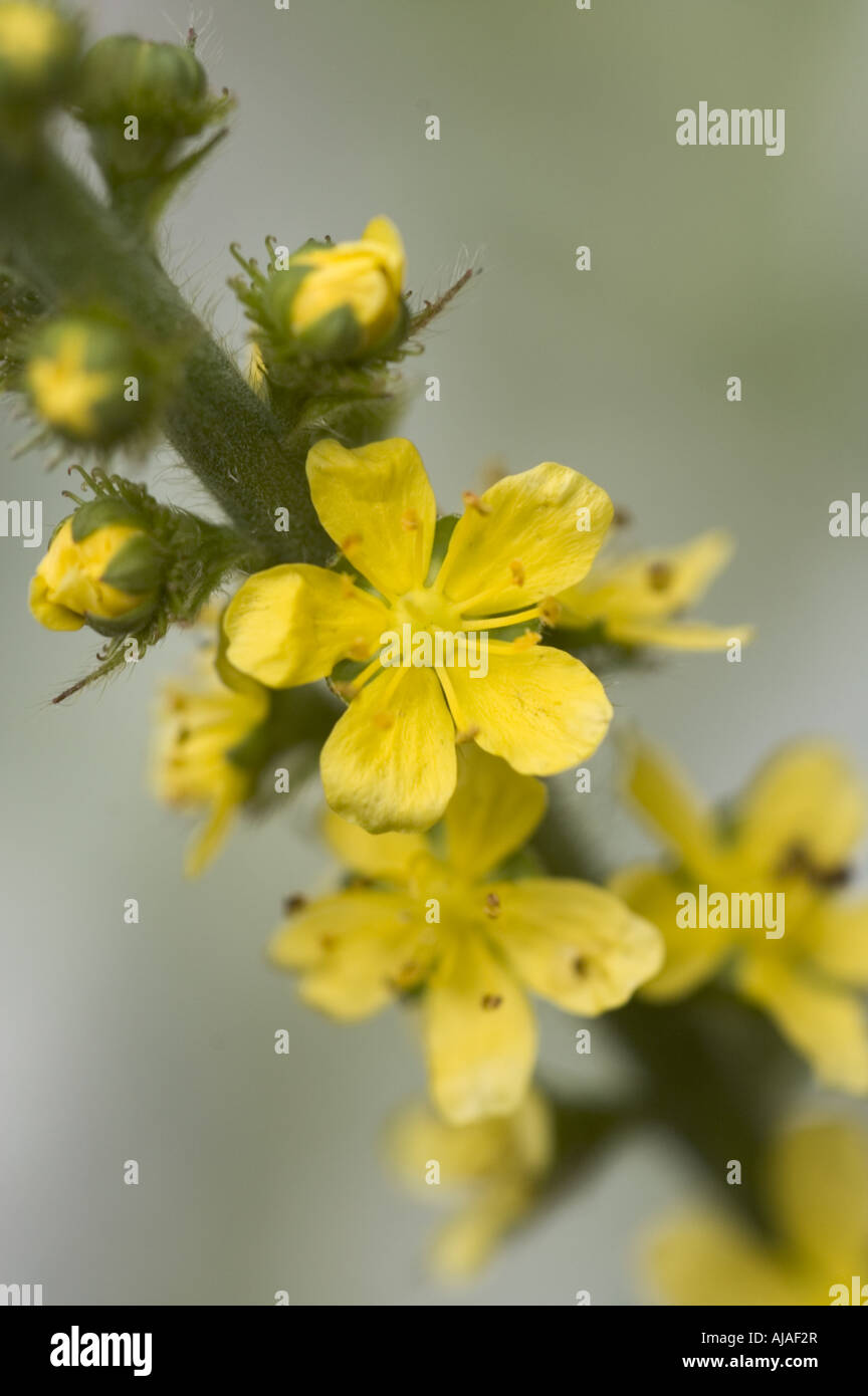 Agrimony flowers with 5 yellow petals stock photo 14675278 alamy agrimony flowers with 5 yellow petals mightylinksfo