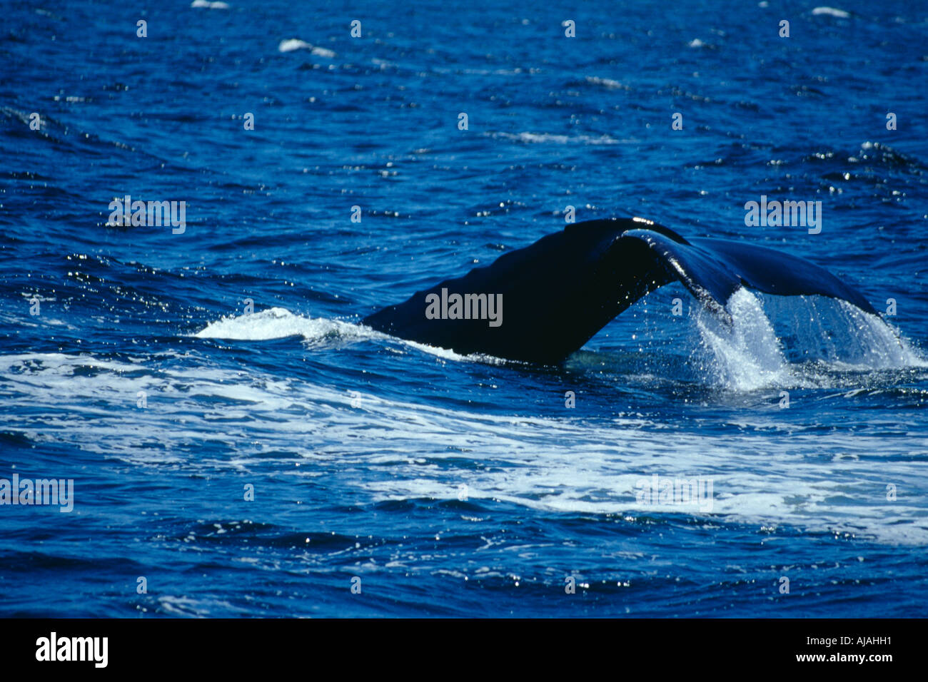 Tail fluke of Humpback Whale (Megaptera Novaeangliae) Monterey coast California USA - Stock Image