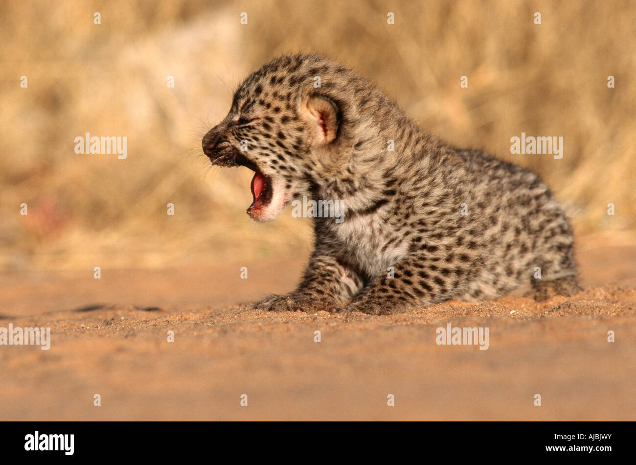 New Born Leopard (Panthera pardus) Cub on Bushveld Plain - Stock Image