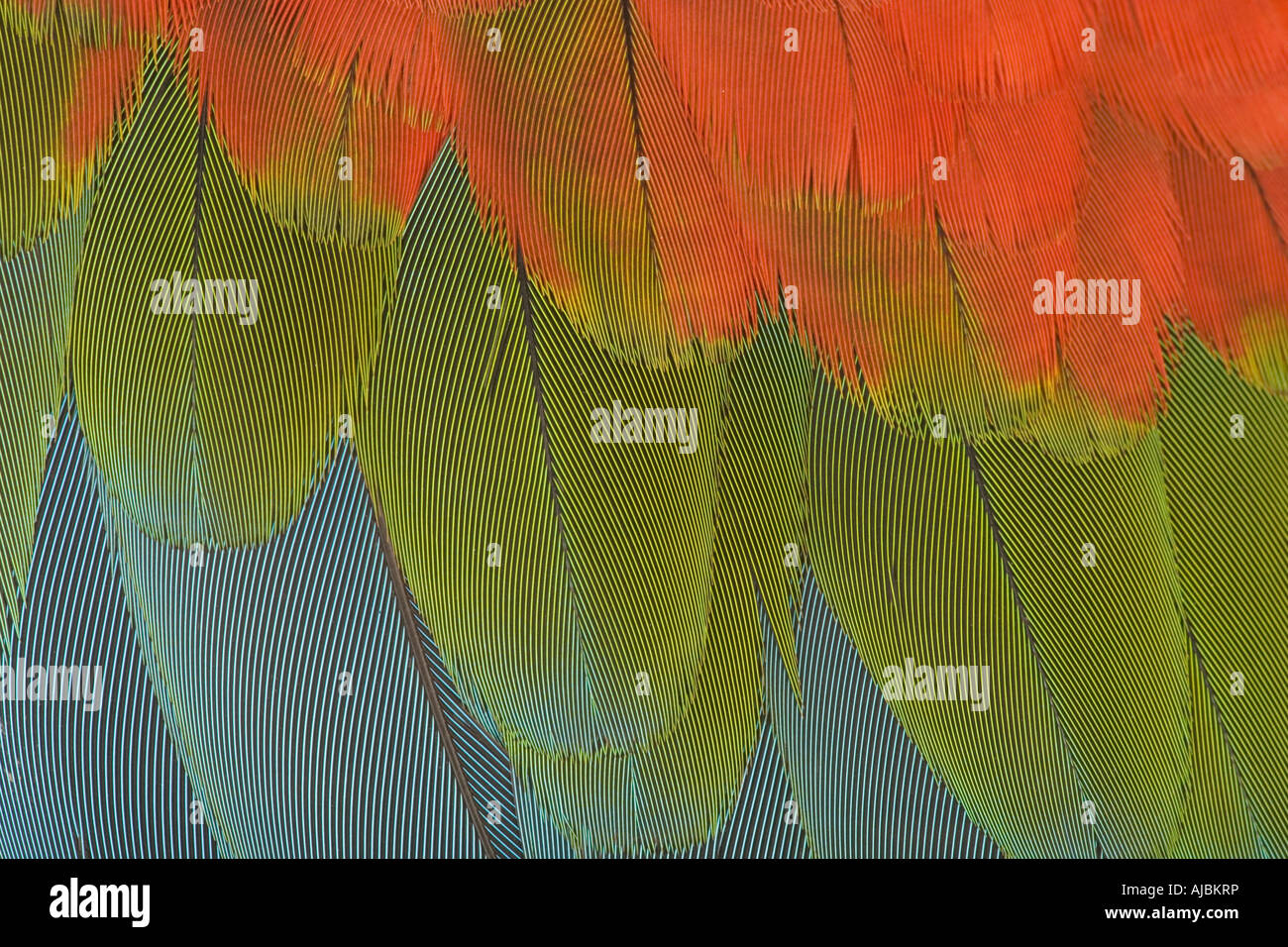 Extreme Close-up of the Wing of a Green-Winged Macaw (Ara chloroptera) - Stock Image