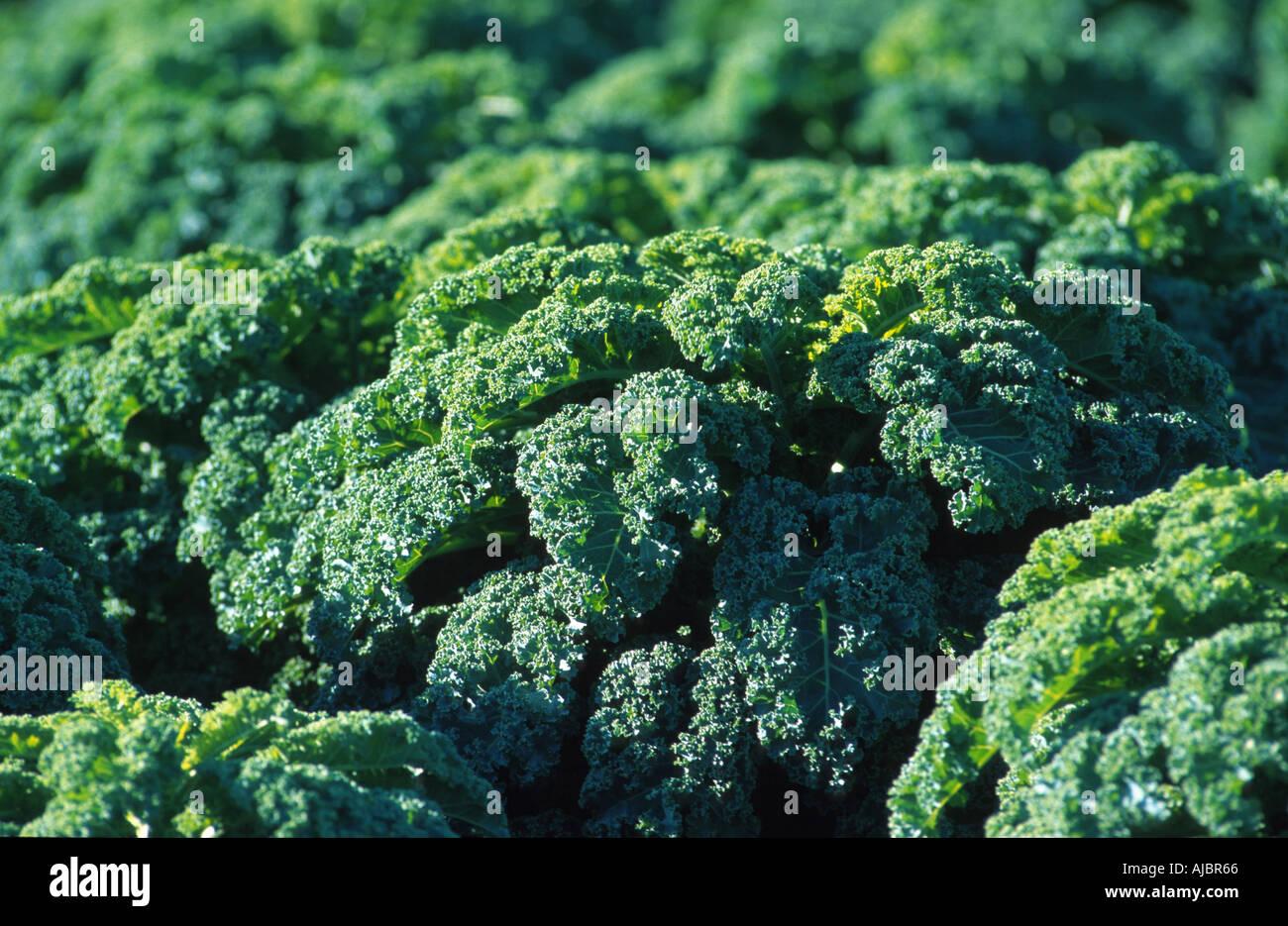 kale (Brassica oleracea var. sabellica), fiel of vegetables, Germany, North Rhine-Westphalia - Stock Image