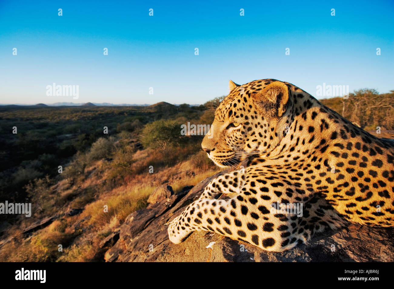 Leopard (Panthera pardus) Lying on Rock - Stock Image