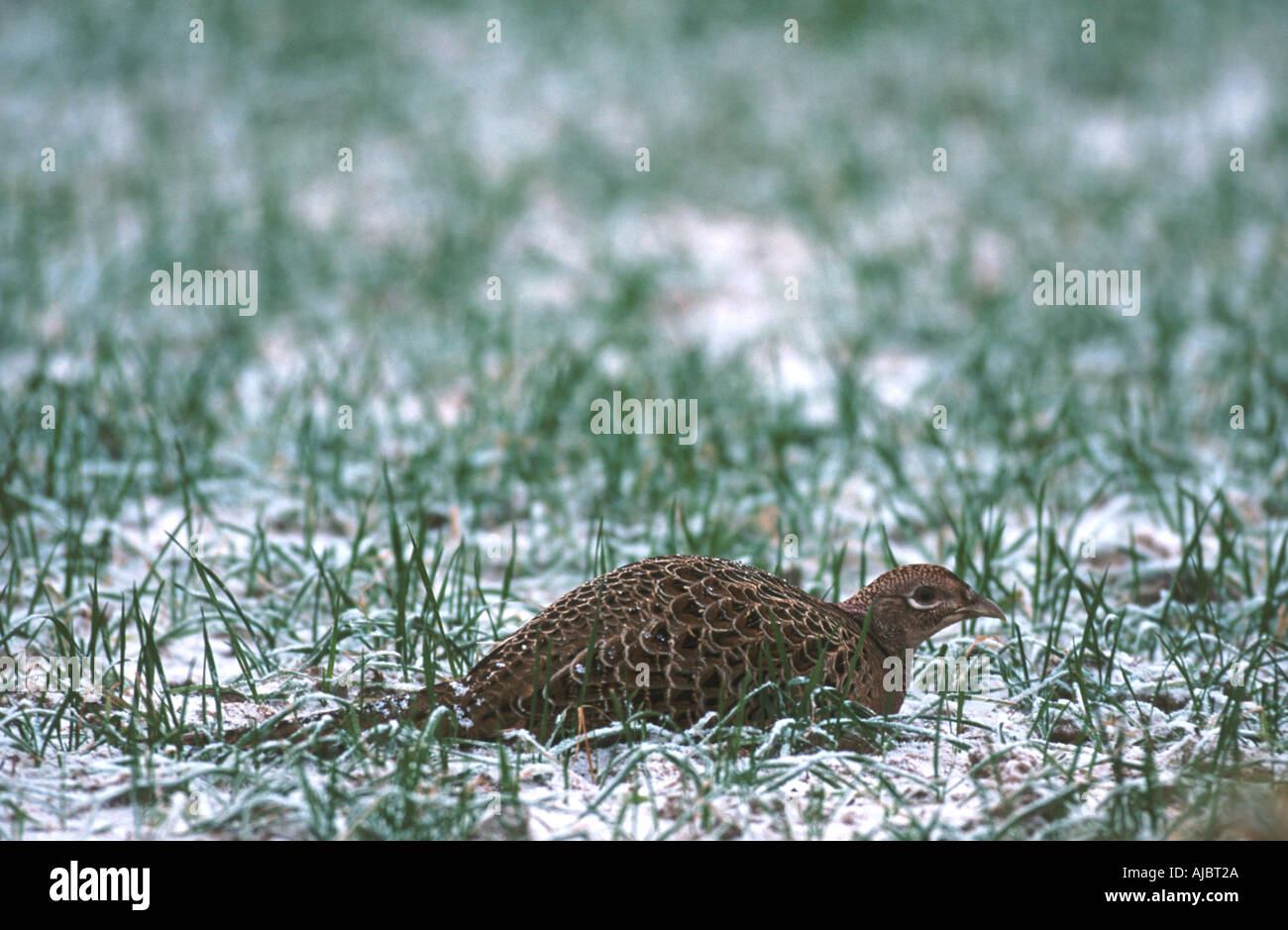 Pheasants In Snow Stock Photos & Pheasants In Snow Stock Images - Alamy