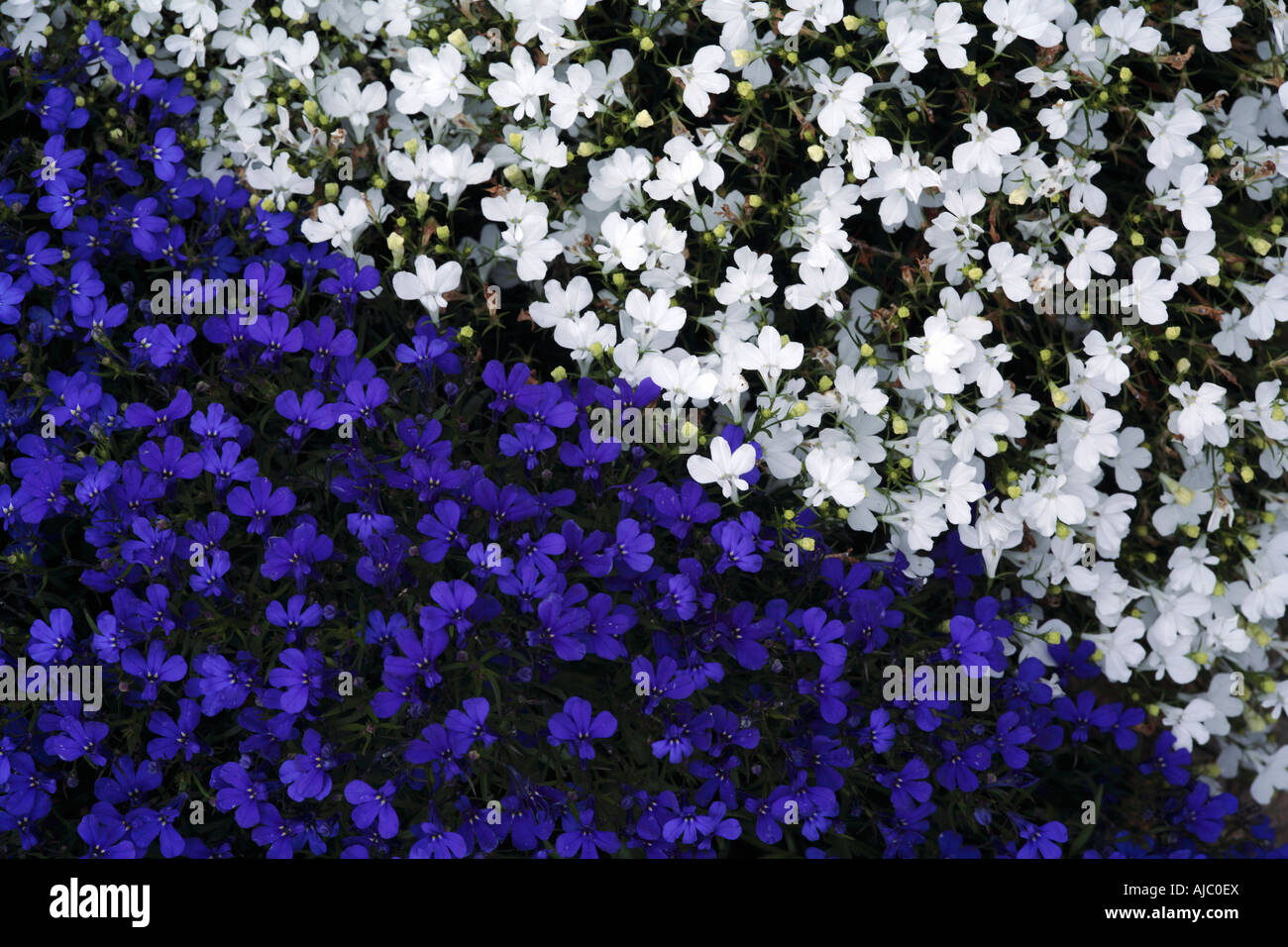 High Angle View Of A Field Of Blue And White Trailing Lobelia Hybrid