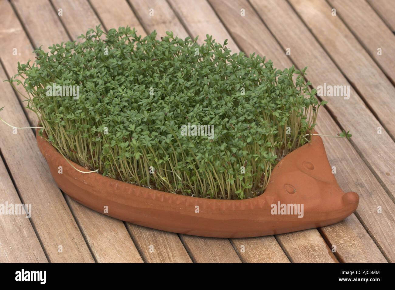 garden cress (Lepidium sativum), seedlings in hedgehog of clay - Stock Image