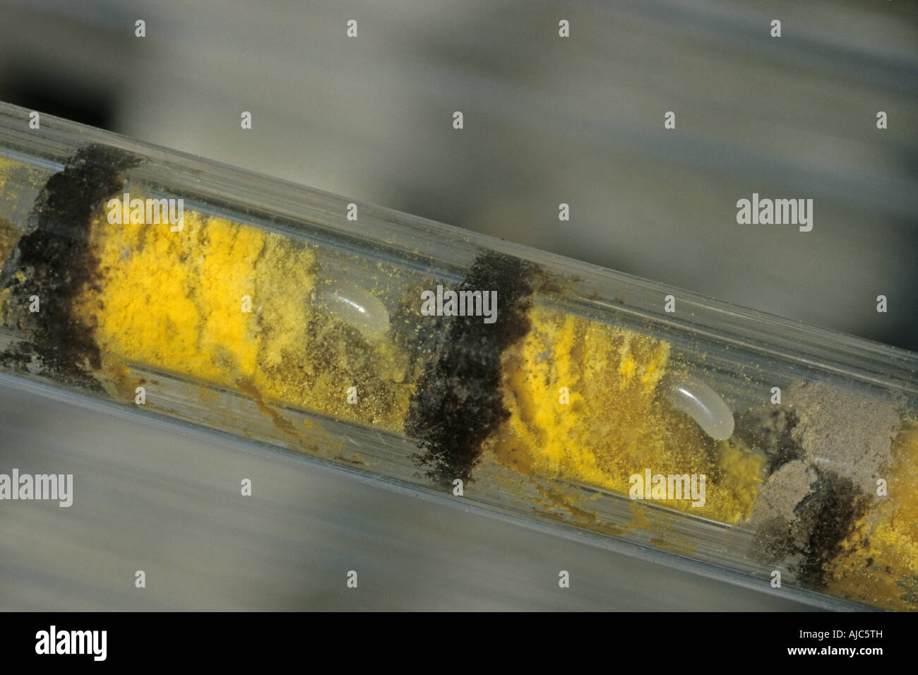 glass tube with pollen and eggs of wild bees - Stock Image