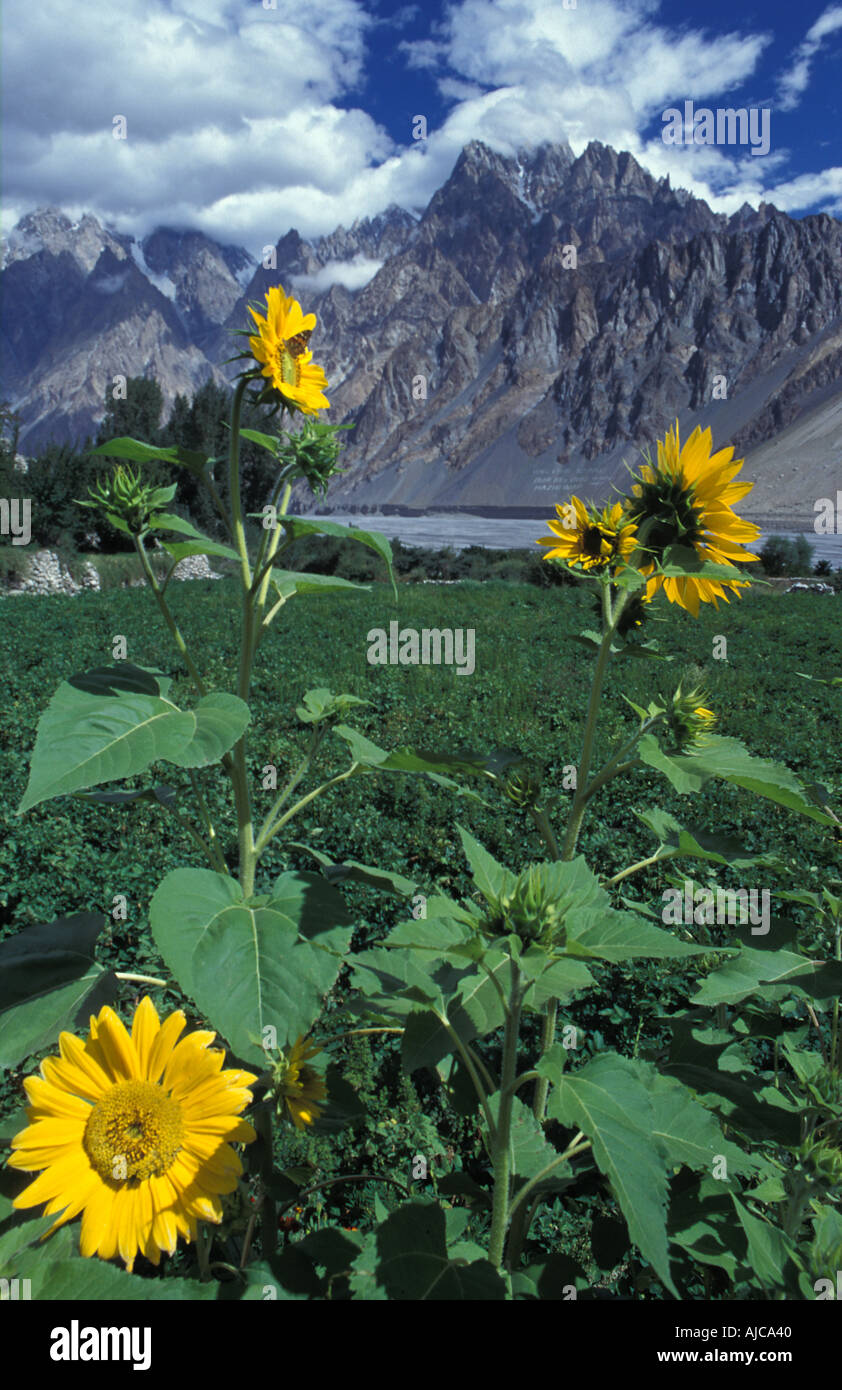 Sunflowers in a Gojal garden The Tupodan or Cathedral Spires of Passu Visible from the Karakoram Highway Hunza Pakistan - Stock Image