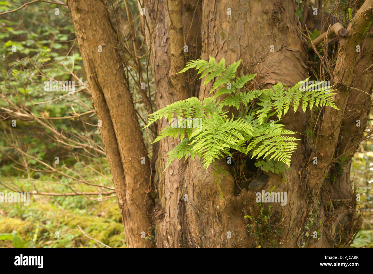 Broad buckler fern Dryopteris dilatata growing out of a hole in a yew tree Gait Barrows Nature Reserve Lancashire - Stock Image