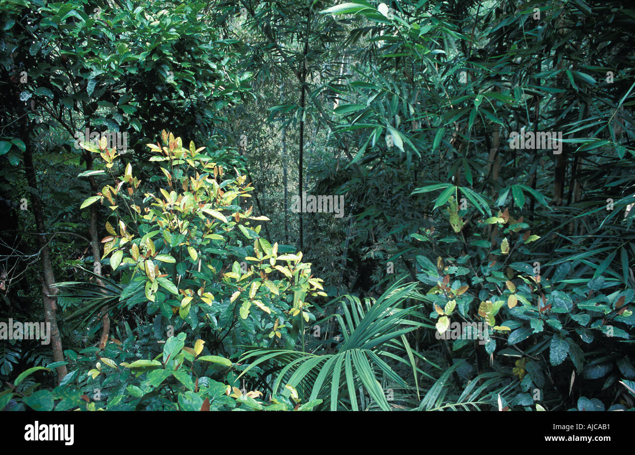 Tropical vegetation on the slopes of Gunung Batukau central Bali - Stock Image