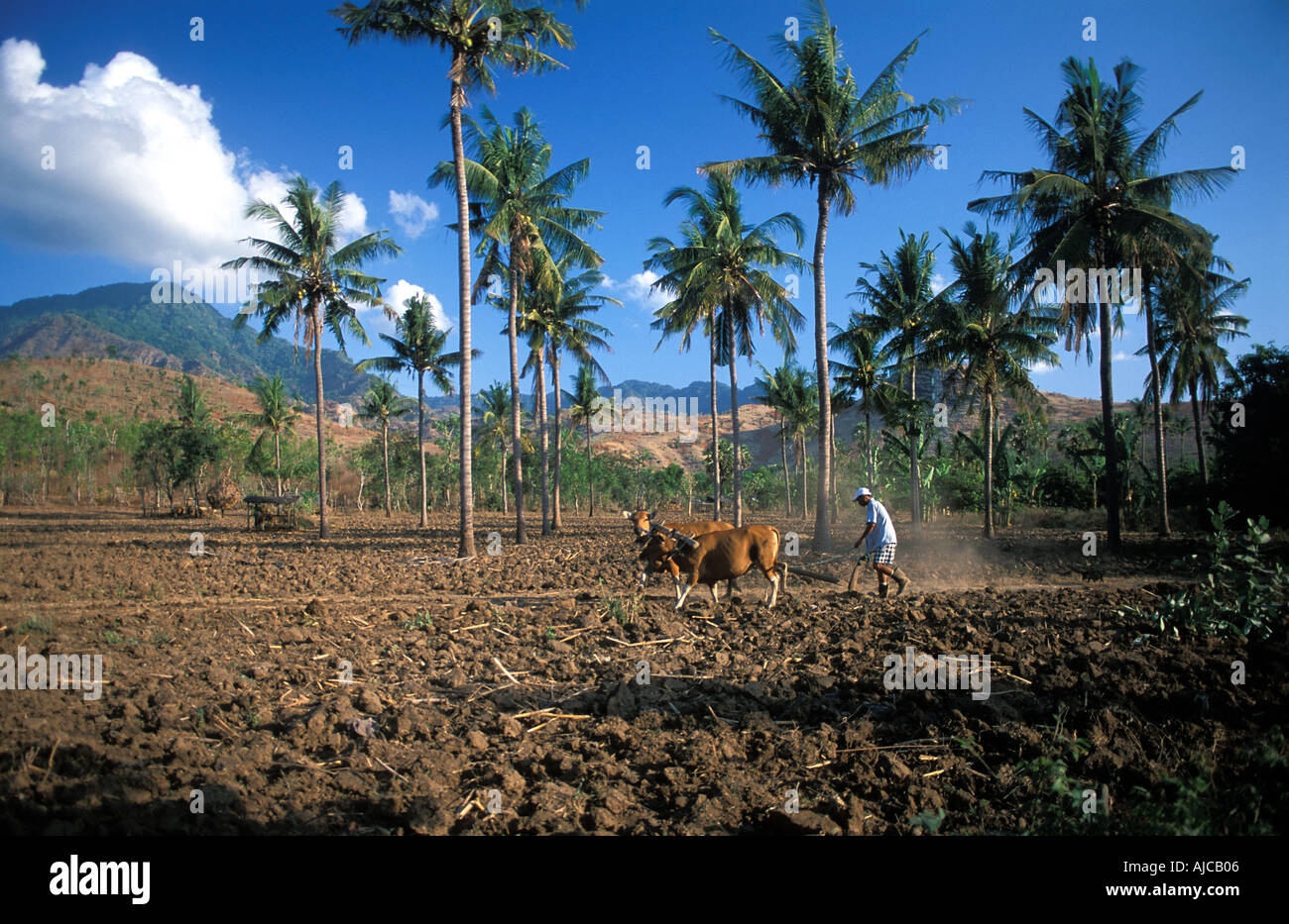 A farmer uses cattle to plough his land Off the Labuan Lalang to Pemuteran road just outside Bali Barat National Park Bali - Stock Image