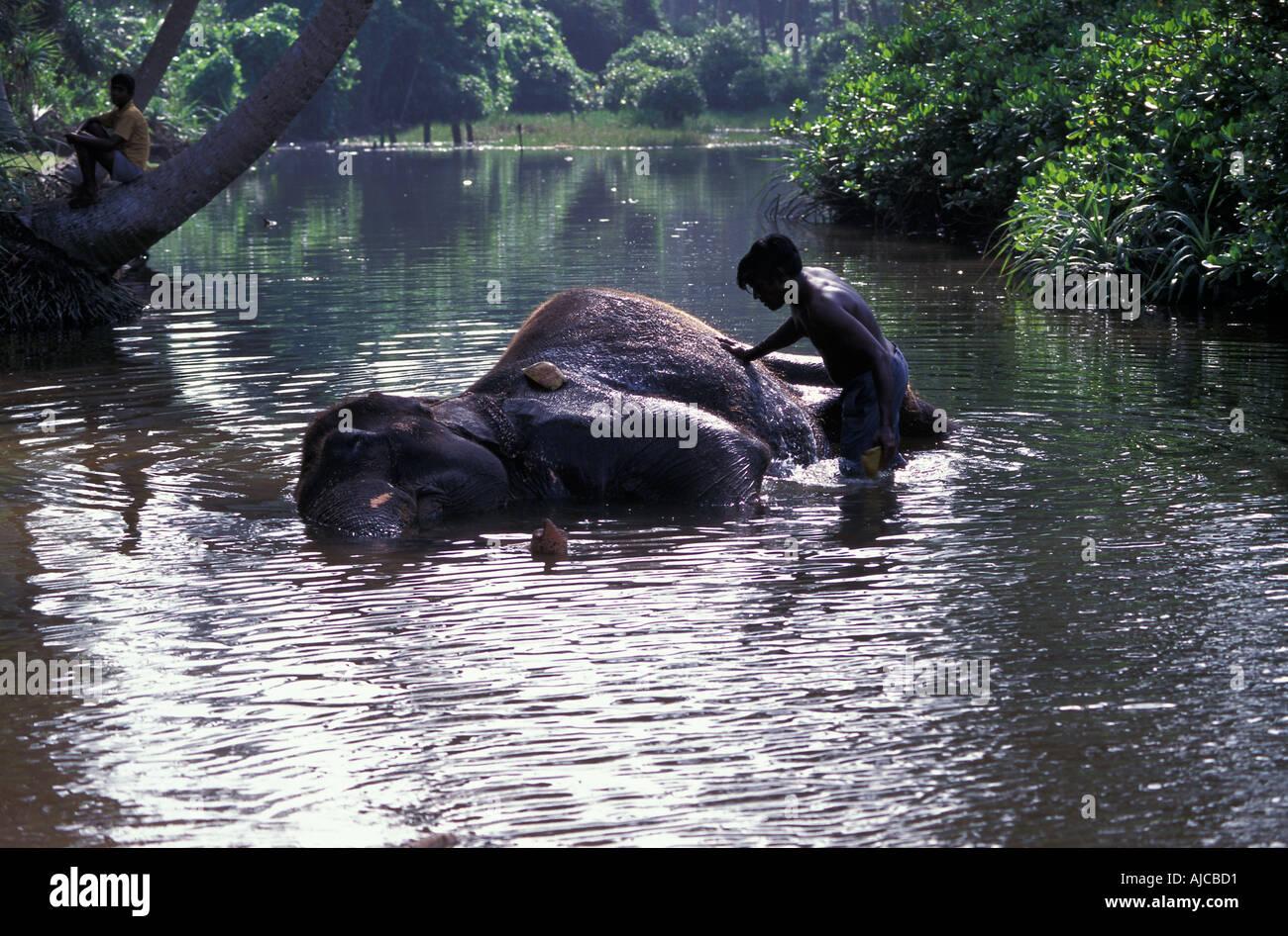 The Elephant Orphanage Sri Lanka Elephant being washed in a stream AtmosphericStock Photo