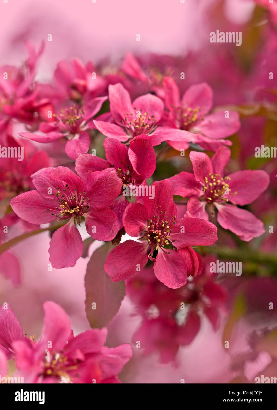 Malus Aldenhamensis Pink Flowering Crab Apple Blossom Stock Photo