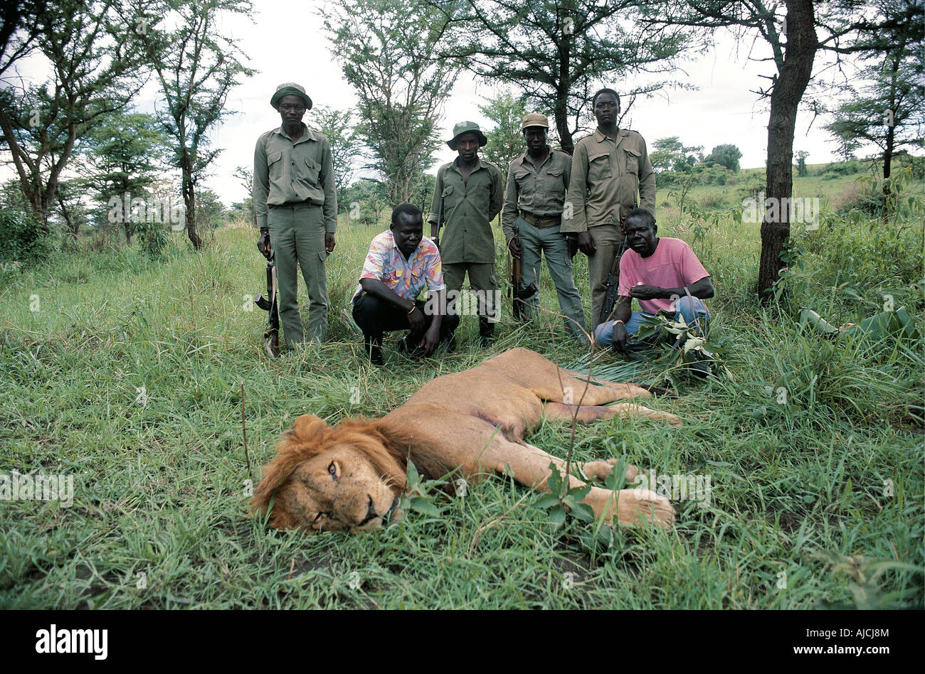 Lion poisoned and paralysed with herbicide is watched over by rangers Queen Elizabeth National Park Uganda Stock Photo