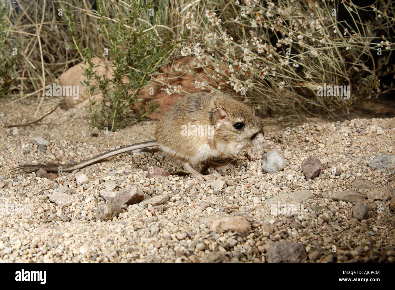 Kangaroo Rat Arizona Stock Photos & Kangaroo Rat Arizona ...