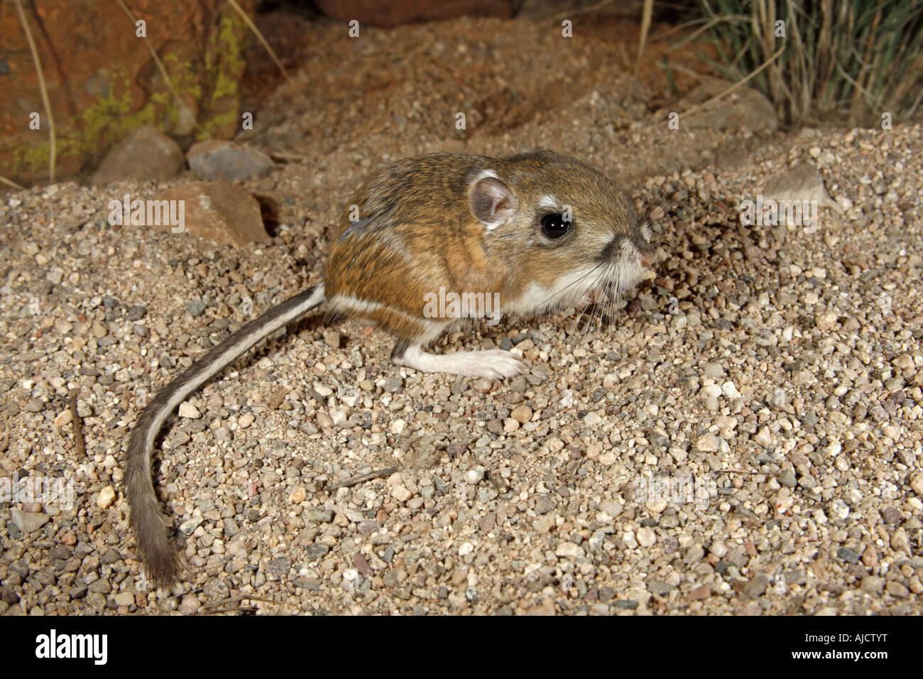 Kangaroo Rat Arizona Stock Photos & Kangaroo Rat Arizona ...