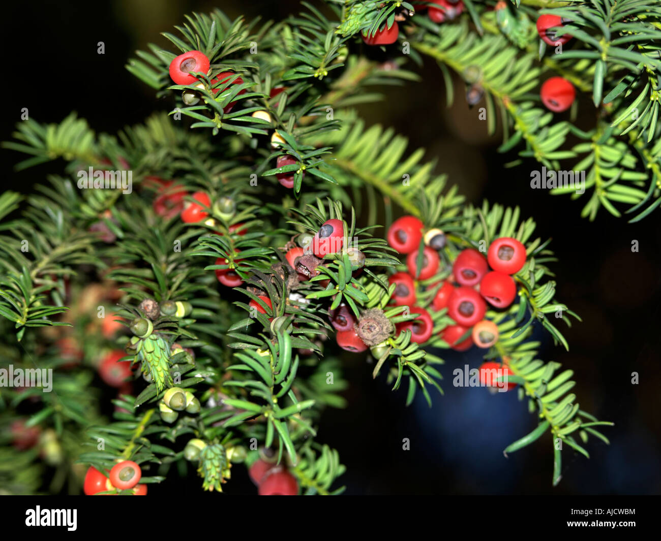 Wescott Surrey England Yew Tree and Berries all part of this tree is Poisonous - Stock Image