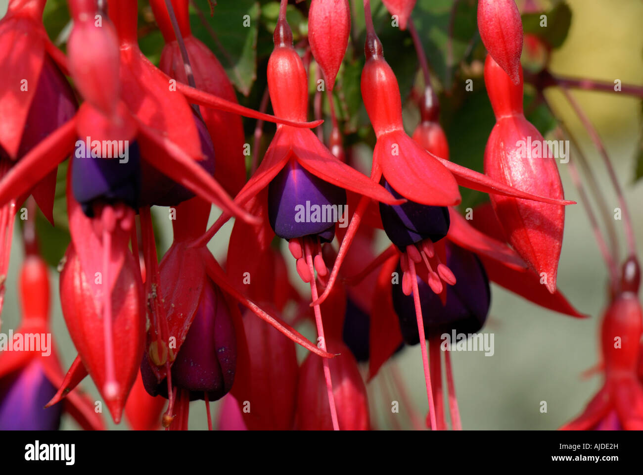 Intense red and purple flowers of a single flowered hardy garden Fuchsia - Stock Image