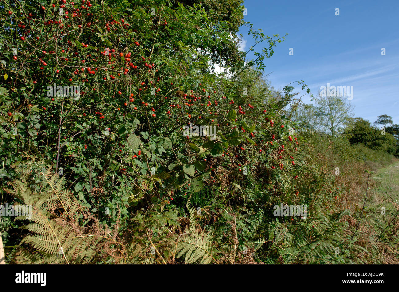 Rose hips bracken hedgerow plants trees in a Devon hedgerow in autumn - Stock Image