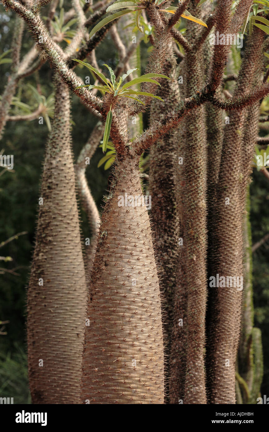 Bottle tree Pachypodium lamerei Berenty southern Madagascar - Stock Image