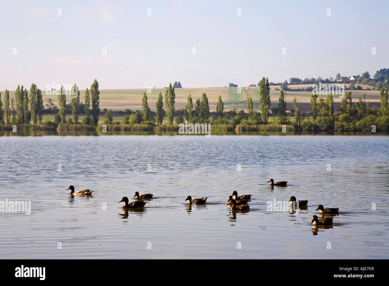 Ducks swimming on Velky Rybnik lake Plzen Czech Republic - Stock Image