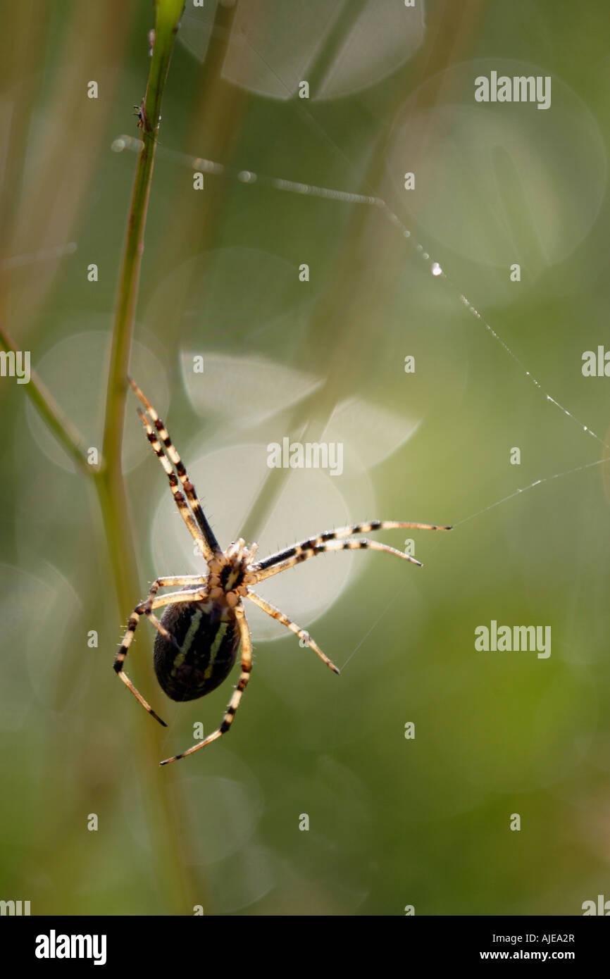 Wasp Spider (Argiope bruennichi) in backlighting - Stock Image