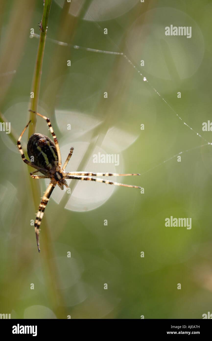 Wasp Spider in backlighting (Argiope bruennichi) - Stock Image
