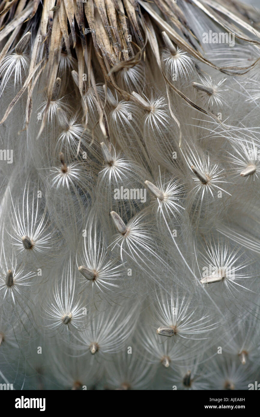 Thistle Seeds - Stock Image