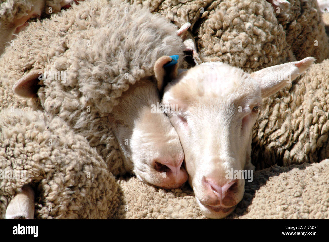 Sheep Shearing Dohne Merino Breed Pictured In Caledon Western Cape Stock Photo Alamy