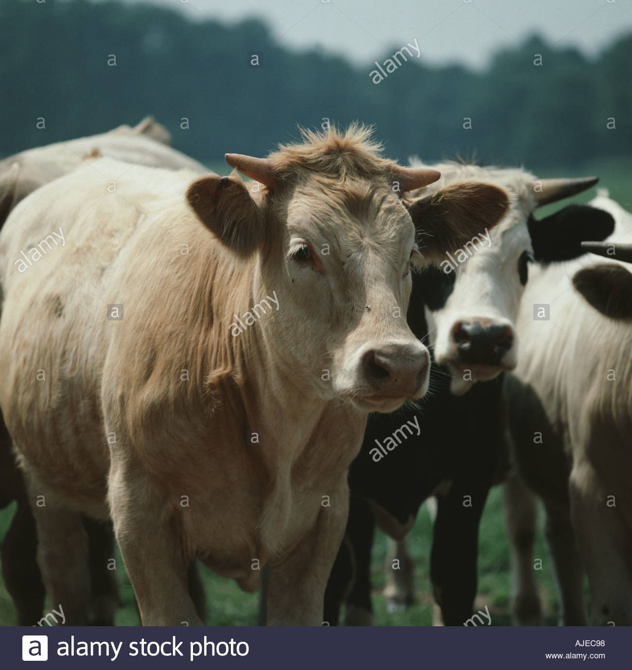Breeding Cows Hiring A Breeding Cow Part