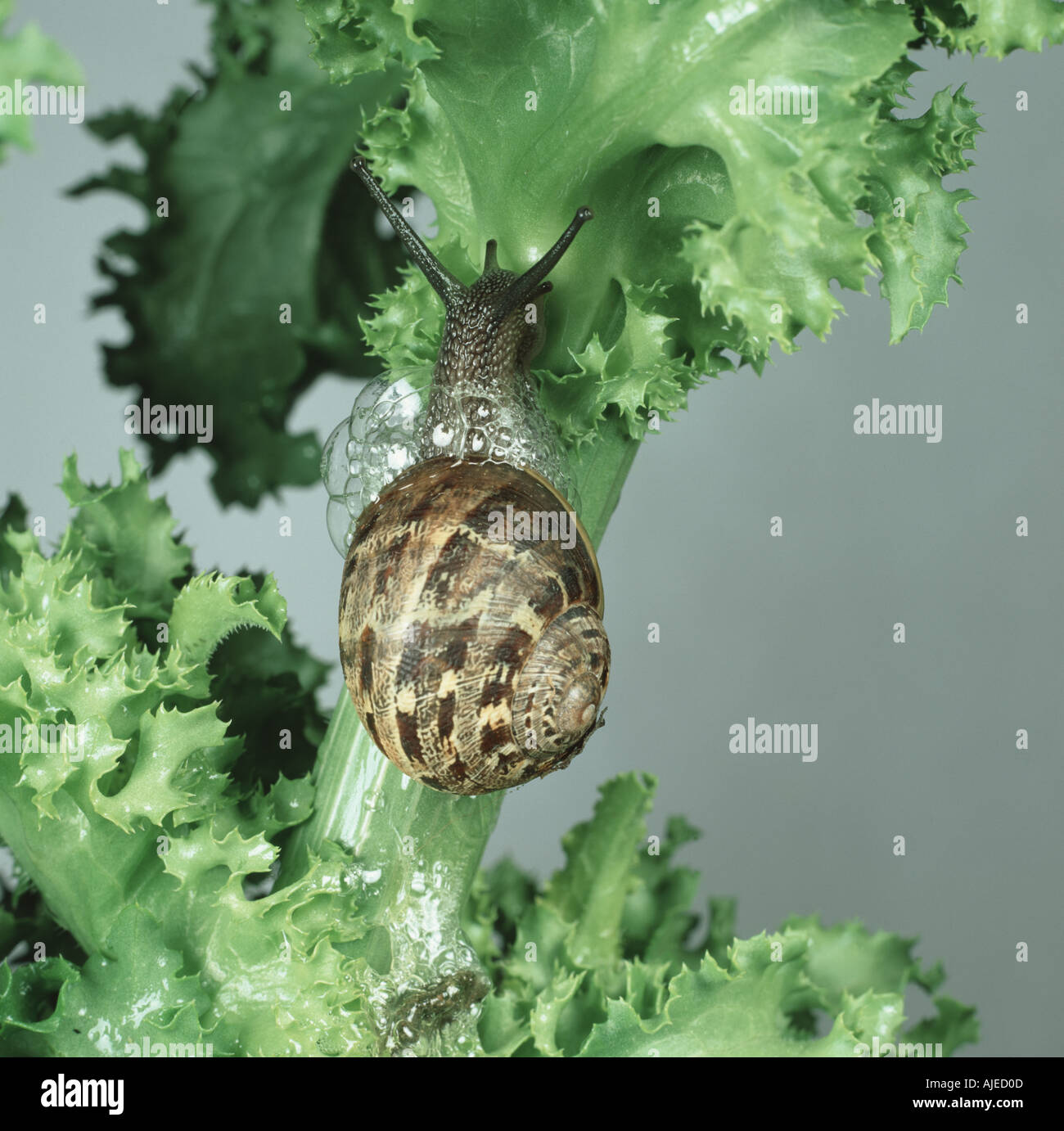 A garden snail Cornu aspersum with defensive bubbles on an endive leaf - Stock Image