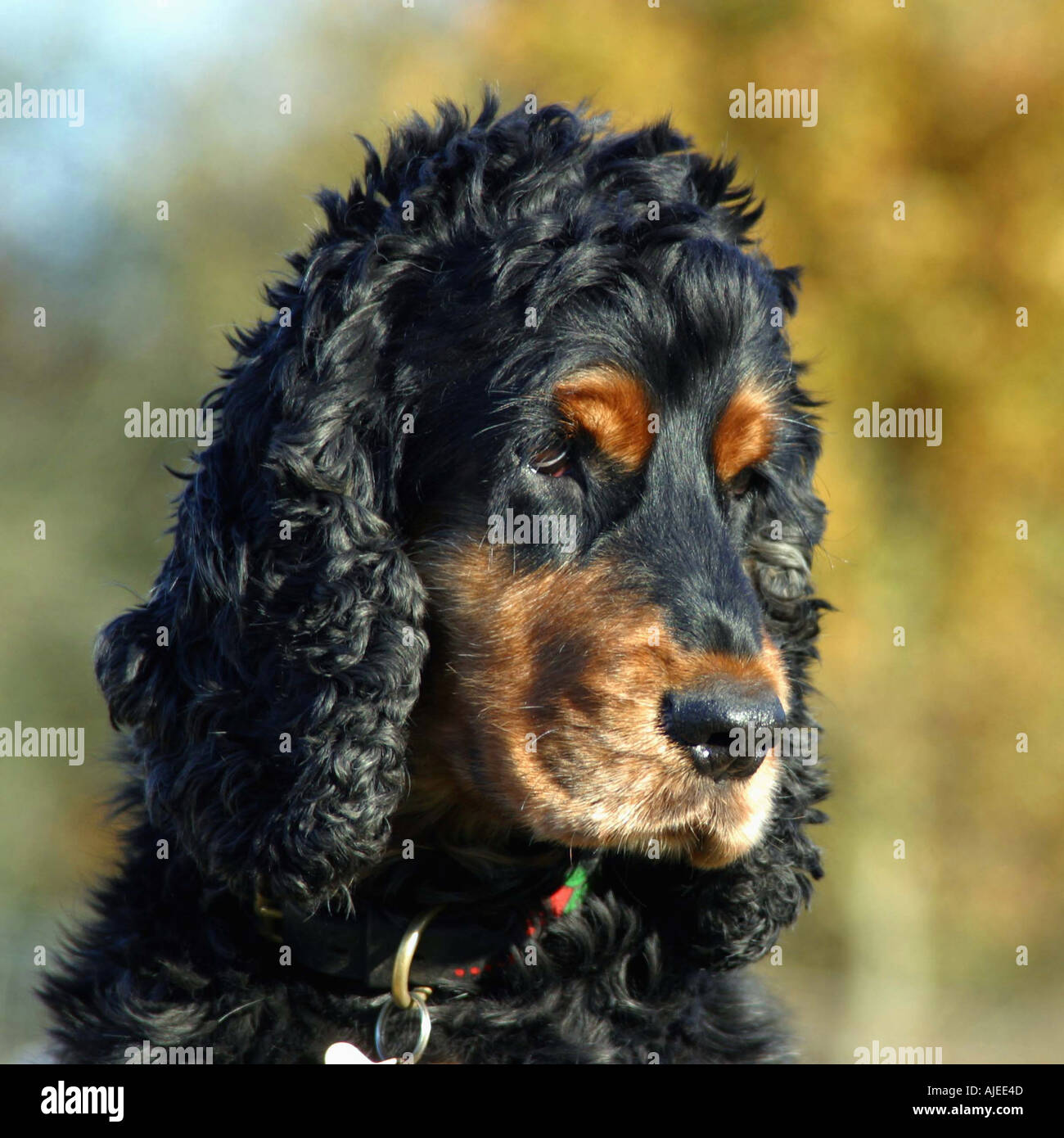 Cocker spaniel - Stock Image