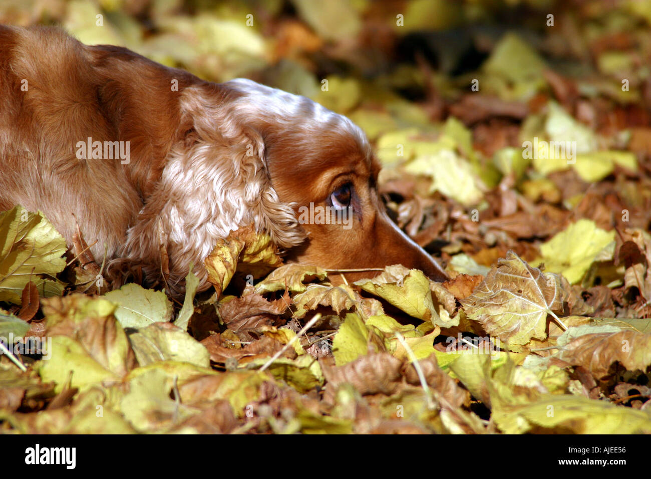 Cocker spaniel in autumn leaves - Stock Image