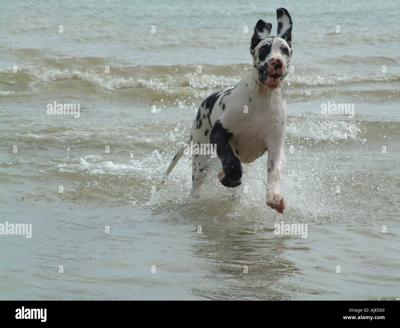 Great dane running in sea - Stock Image