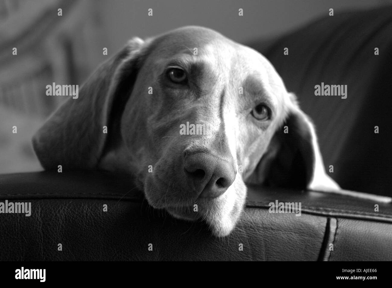 Weimaraner on sofa - Stock Image