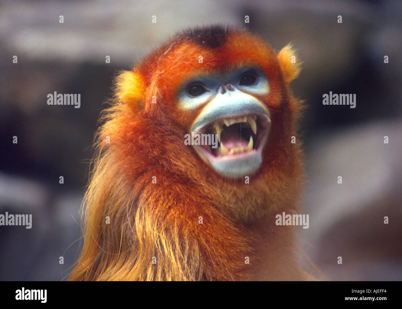 Golden monkey Rhinopithecus roxellanae endangered species of southwest China - Stock Image
