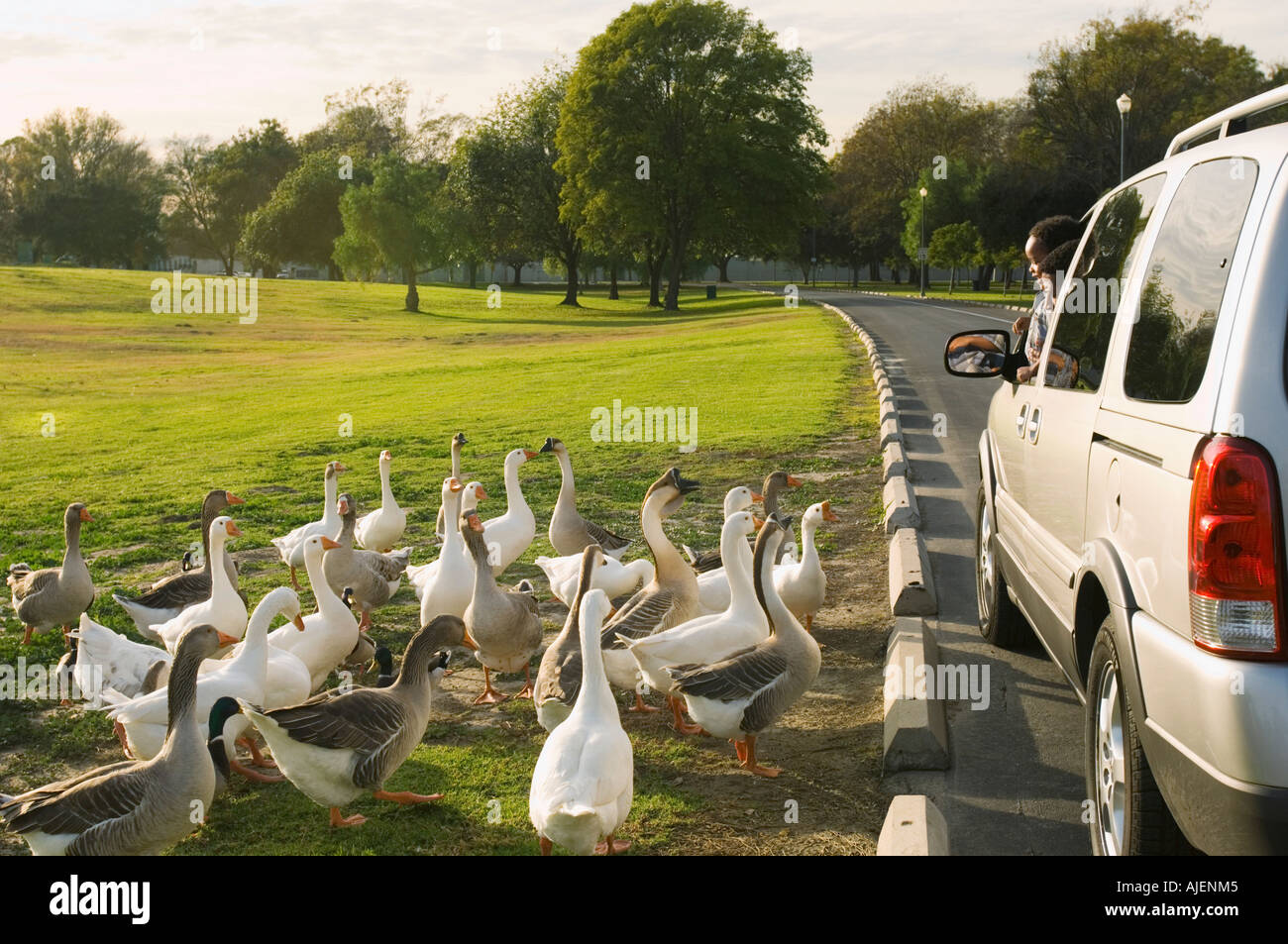 Father and young son looking at geese through car window - Stock Image